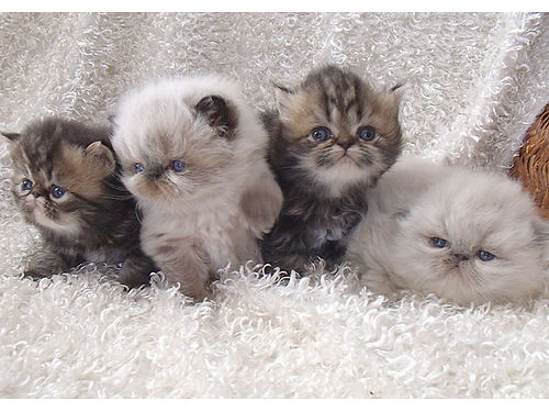 HIMALAYAN  PERSIAN kittens flat face adorable very loving males females registered parents on