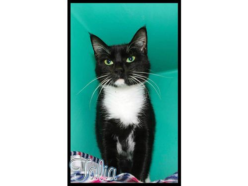 MEET TALIA a 3yr old female Tuxedo cat with soft loving ways Her 55 adoption fee covers spay sho