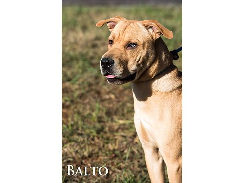 BALTO is a young male labpossibly Sharpei mix He has one blue eye one brown and this little guy i