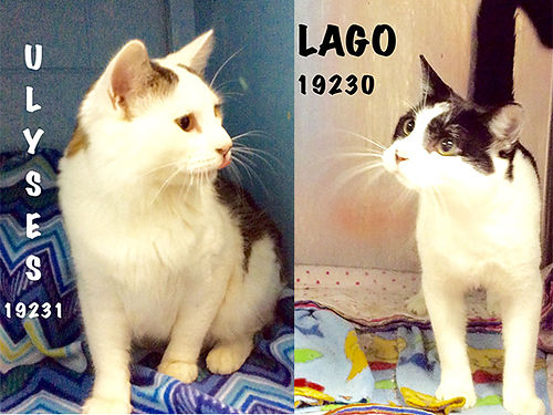 LAGO  ULYSSES are 3yr old brothers Theyre friendly affectionate  very fond of one another It w