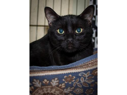 DISCOS a 2yr old male kitty Black short haired neutered very sweet will follow you around the