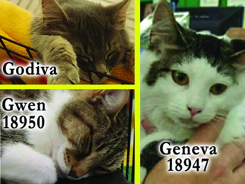 MOM  KITTENS Mom is Gwen a pretty tabby Godivas a beautiful silver tabby kitten Genevas a whi