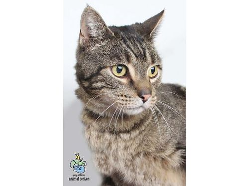 BOCEPHUS Just look at his colors Bocephus is an 8-year-old neutered cat who is searching for a lovi