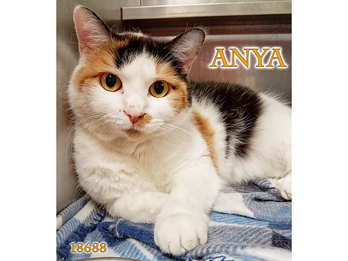 ANYA is a stunning calico with gorgeous eyes She needs a quiet home and wonders if you are her new