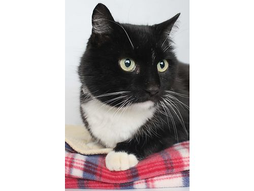 DESPITE HIS NAME MOODY is an affectionate fun loving 3yr old kitty who deserves a permanent home