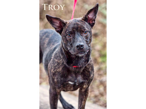 TROY THE TERRIFIC TERRIER is ready for a home Troys a smart loving high-energy black-brindled te