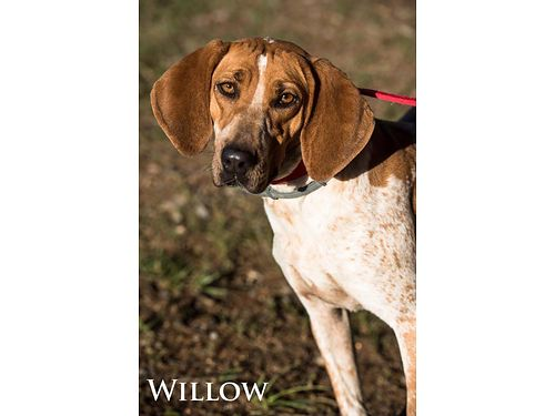 WILLOW HAS A NOSE FOR GREATNESS This Red Tick hound is only 3-4yrs old Full of love LOVES Attenti