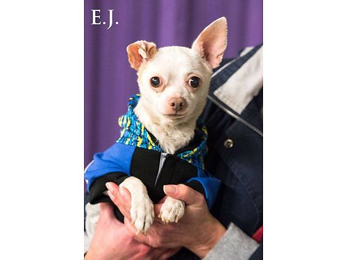 EJ is a lap dog in search of a lap Hes about 8yrs old 9lbs EJ does well wdogs  cats LOVES
