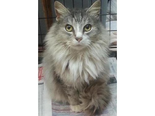 RADAGASTS an 8yrs old neutered long haired male absolutely gorgeous swirls of greybeige Sweet