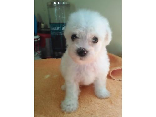 BICHON FRISE PUPPIES CKC Registered 1 male  1 female fluffy adorable all white Pups will have