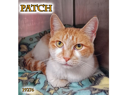 PATCH is a sweet spayed 6yr old girl looking for a second chance She is curious about her surroundi