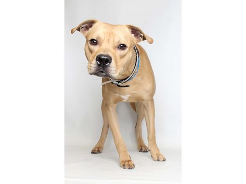 MEMPHIS IS A PRECIOUS PIT BULL Terrier mix Hes a fun  spunky 9yr old that loves to play wother p