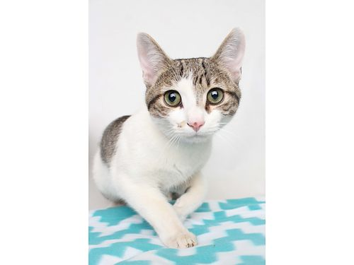 STOP BY OUR DIVISION STREET LOCATION to meet our sweet boy Norris Hes a 9yr old Domestic Short Ha