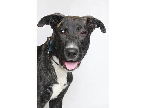 LOOKING FOR A SHEPHERDCATAHOULA Leopard dog Otis is your man Hes a happy-go-lucky playful 7mo o