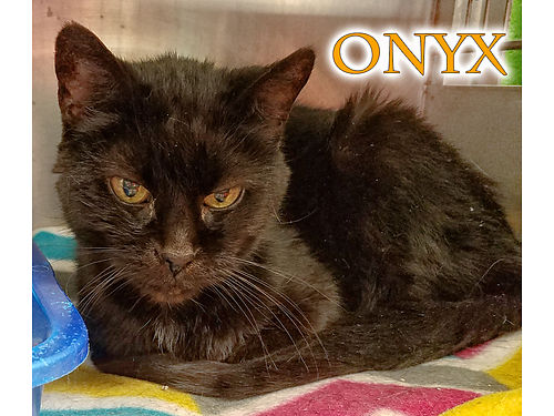ONYX IS A SWEET SENIOR with heart She is declawed  a little thin but just needs a good indoor hom
