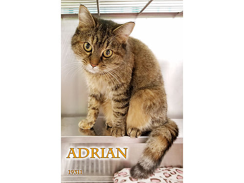 ADRIAN IS A SWEET SILLY CAT looking for a new place to call home Her 55 adoption fee covers spay