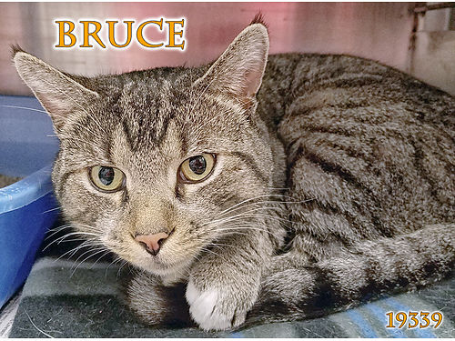 BRUCE IS A QUIET CAT looking for a person to snuggle that will adore him His 55 adoption fee cover