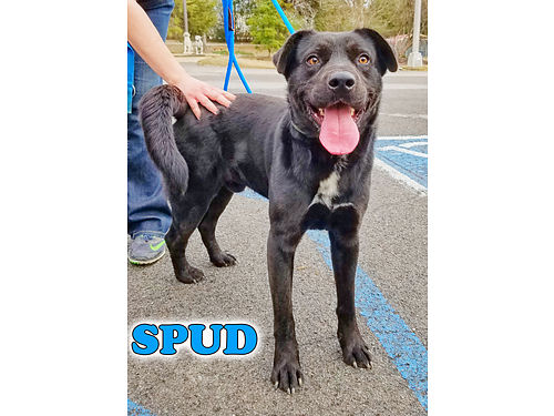 SPUD IS A BIG YOUNG RAMBUNCTIOUS LAB that loves to play He is about 2 years old His 55 adoption f
