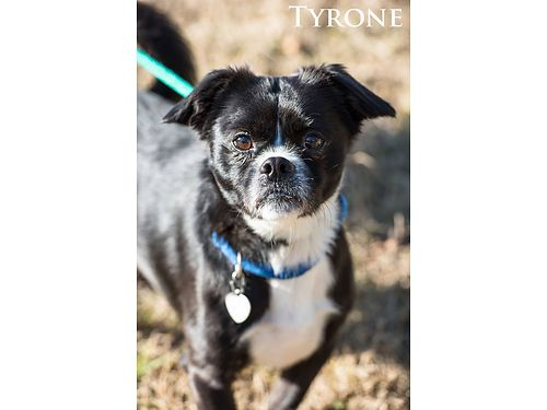 TYRONES A TEMPERAMENTAL LITTLE MAN that needs the right woman No children or other pets he needs