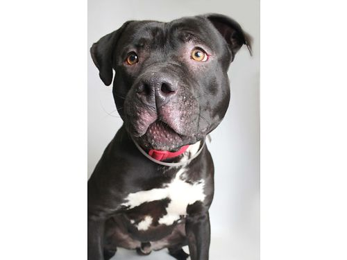 BRAD PITT is a handsome happy-go-lucky male Terrier Mix He enjoys toys and playing with other dog