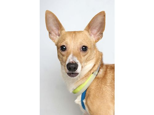 BILLY IS A SPUNKY loving 4 year old Chihuahua mix He would bring joy to any home For more info on