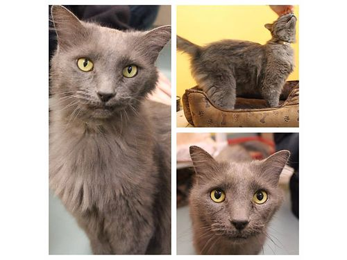 SHEBAS A 7YR OLD female front declawed cat whos extremely affectionate She prefers all the atten