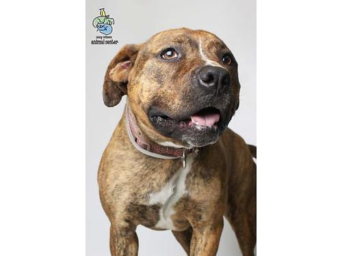 COME MEET COCO PEBBLES Shes a 2yr old American Staffordshire pup that has tons of energy to play w