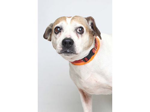 SUNSHINE is a loving cuddling Jack Russel Terrier mix Shes 11 years old and cant wait to meet y