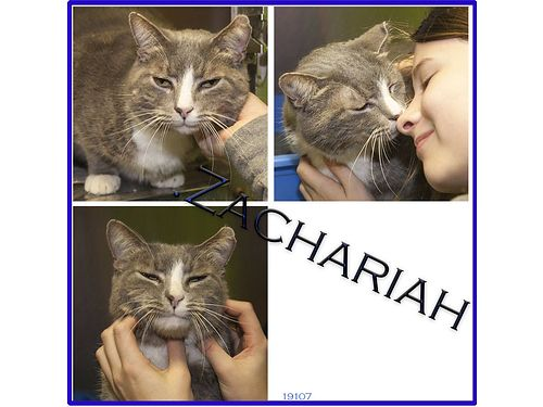 ZACHARIAHS A YOUNG MALE CAT calm gentle pleasant personality He keeps his smooth gray coat beau