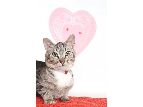 MEYA is a Domestic shorthairGrey tabby mix Shes only 1yr old Meya loves being lazy  cuddling wi