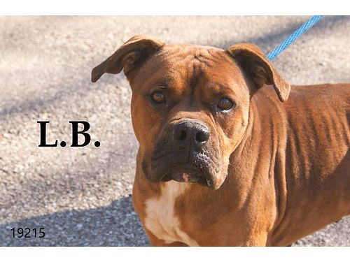 L B IS A HANDSOME 3yr old boxer mix Hes smart  friendly He doesnt get along wother male dogs