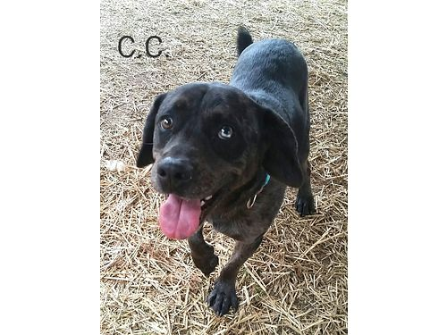 CC short for Chocolate Chip is a 6yr old beagle Australian Cattle dog mix Shes a playful ene