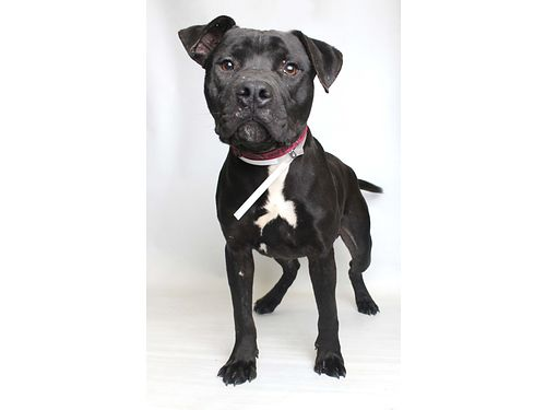 CARNABYS A LOVABLE TERRIERPITT Bull mix Hes about 1yr old Super Smart wa lot of energy Knows
