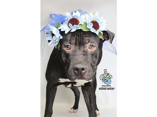 BRAD PITT IS STILL LOOKING for HIS perfect forever home Hes a sweet 1yr old TerrierPitt Bull mix