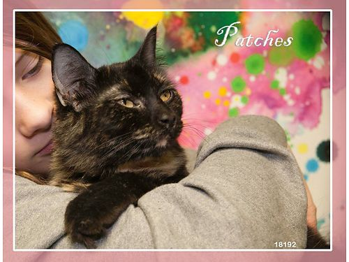 PATCHES IS A BEAUTIFUL TORTI with gorgeous fur She is a sweet and affectionate girl Adoption fee