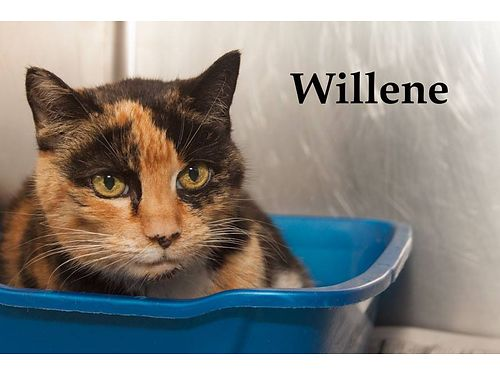 WILLENE IS AN OLDER GIRL who is looking for a quiet place to retire She is a sweet kitty who needs