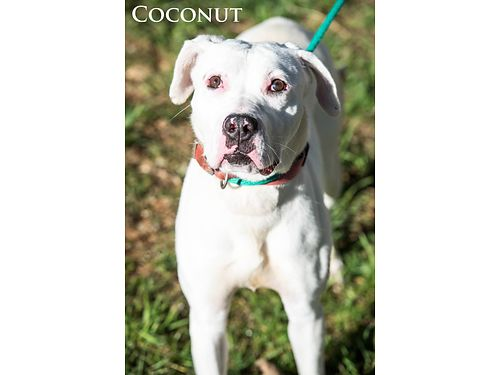 MEET COCONUT She is an American Bulldog mix She is a sweet young girl who loves to play Adoption