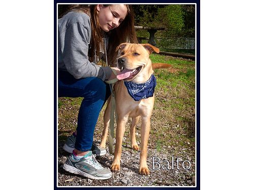 BALTO IS A REALLY FRIENDLY 1 year old male lab mix Come meet this handsome young dog Adoption fee