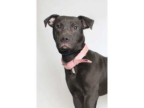 POMPEIIS A HAPPY-GO-LUCKY hilarious 1yr old America Pit Bull Terrier mix Shes learning her manne