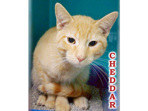 CHEDDAR IS A WONDERFULLY SWEET KITTEN His cheesy antics will entertain you for life Adoption fee