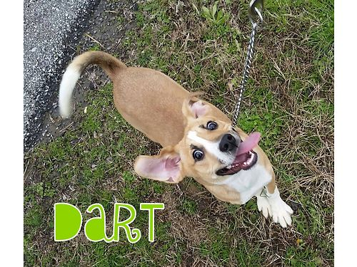 DARTS A 6MO OLD BEAGLE MIX looking for a buddy to run  play with Best suited for a home where he