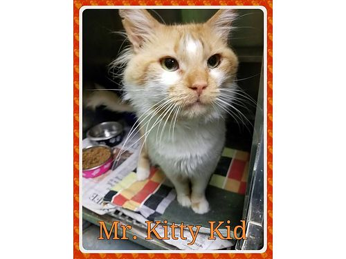 MR KITTY KID is a quiet patient boy seeking an indoor home  a person to love Adoption fee 55 in