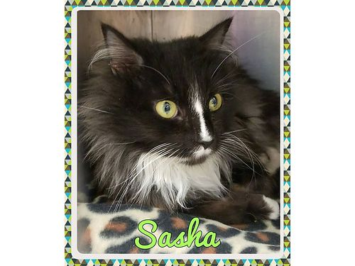 SASHA IS A LONG HAIRED TUX wa loving disposition She needs an indoor home where she will be spoile
