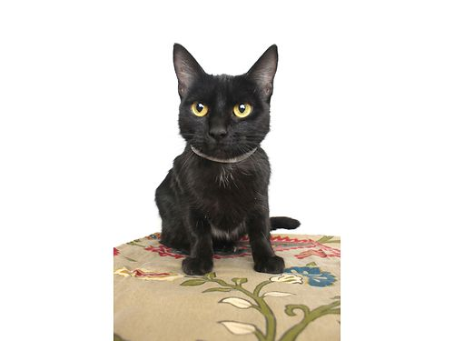 SLICK WHISKERS LOVES PETTED Shes a sassy 1yr old prefers not being picked up And shes free A f