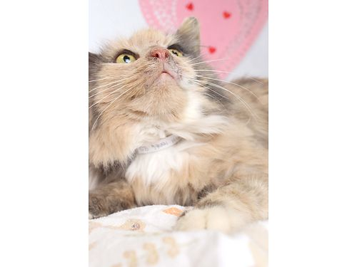 TONIS A SLEEPY GAL that just wants to snuggle wher humans Shes a beautiful domestic medium hair