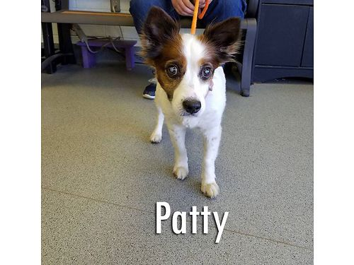 PATTYS A 6YR OLD 22lb papillion mix wspecial needs Shes a diabetic that requires a special diet