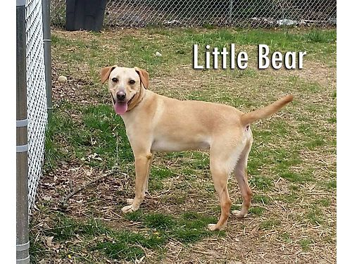 LITTLE BEAR is a playful young Lab Mix that needs an indoor home wpeople that have time for him G
