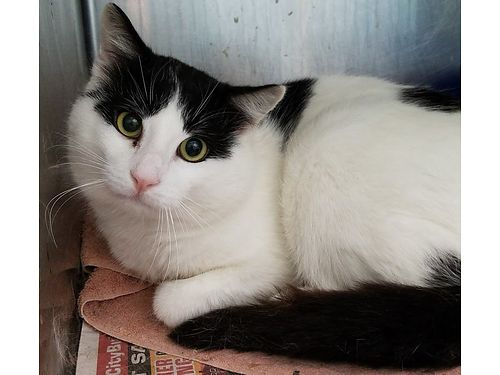 MUSHU IS A SHY CAT learning to warm up to people in need of a quiet home Adoption fee 55 includes