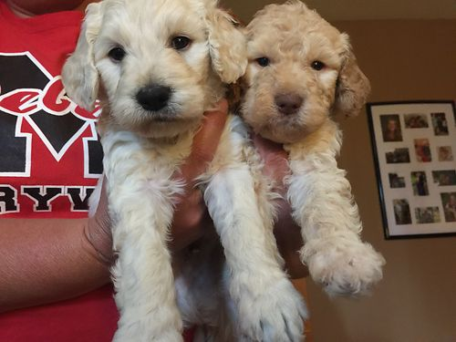 GOLDENDOODLE PUPPIES 6wks old home raised will have 1st shots wormed Mom is an F2B Dad is an F