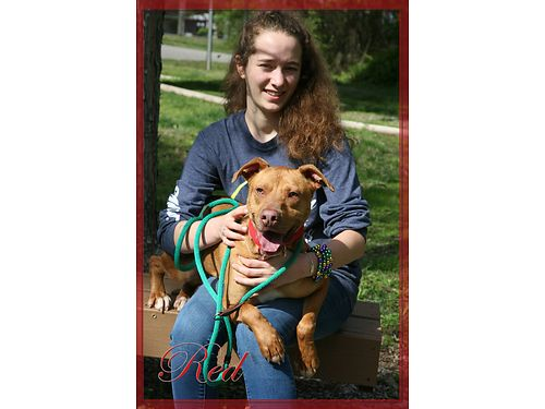 RED IS A 2YR OLD SHEPHERDPIT MIX who was recently surrendered Dont you think this handsome boy de